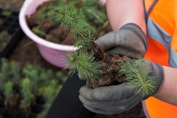 Работы по лесовосстановлению промышленники проводят ежегодно