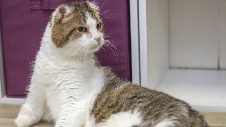 В Екатеринбурге ищут хозяев для кота без лап и хвоста