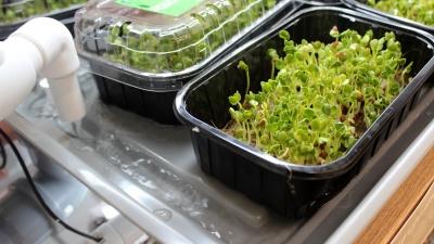 В торговом зале новосибирского «Ашана» разбили грядки с микрозеленью— кадры из гипермаркета