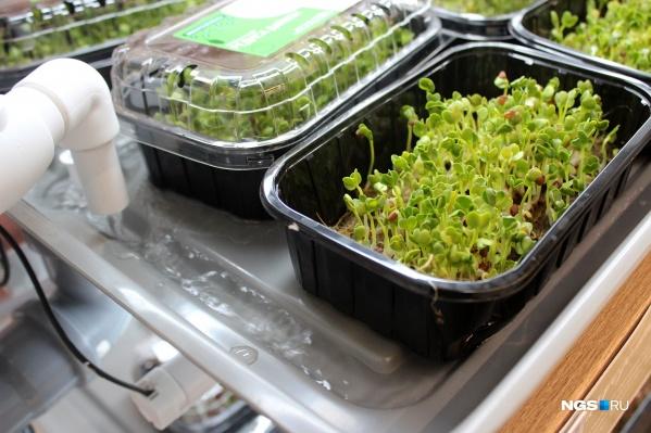 Зелень в одноразовых емкостях стоит в лотках, куда подается вода