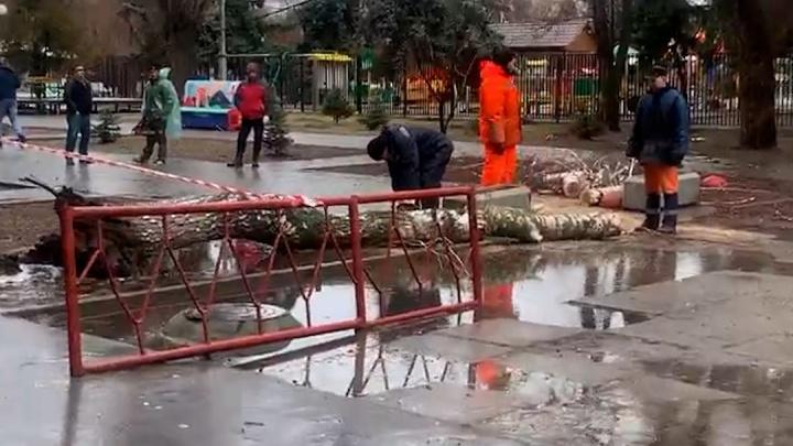 «У меня чуть сердце не остановилось»: в центре Волгограда на территории школы рухнула 70-летняя береза