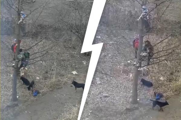 Школьники спустились на землю только после того, как проходящий мимо педагог отогнал животных