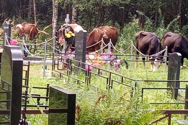 Коровы пасутся прямо возле могил