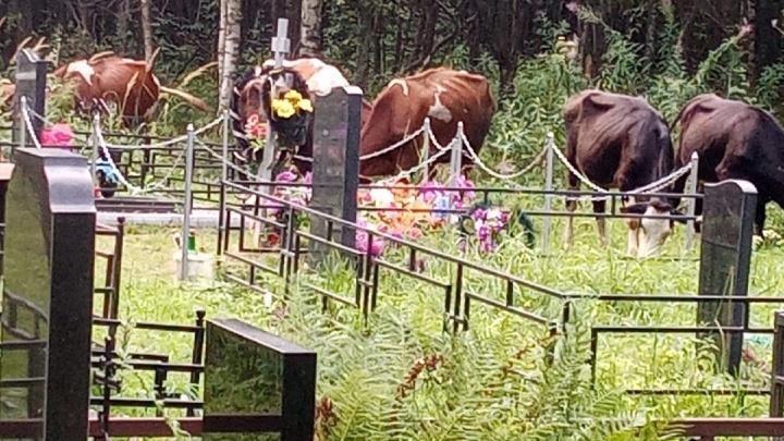 «Прямо на могилках»: жители Ярославской области пожаловались на коров, загадивших кладбище
