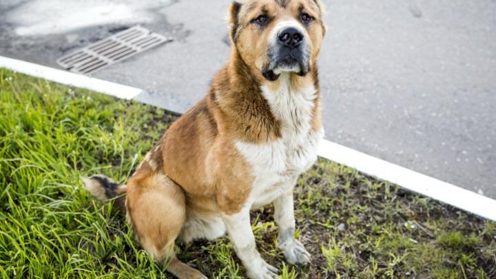 Власти признались, что в Ярославской области некому ловить бродячих собак