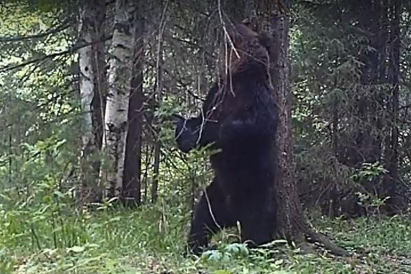 Медведь танцует у своего «чесального» дерева