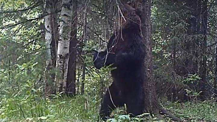 Может стать звездой TikTok: в уральском заповеднике медведь станцевал на камеру