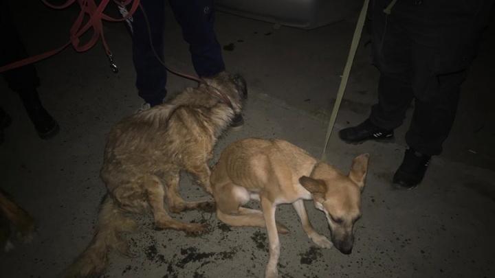 «Все истощены, привязаны веревками». Волонтеры забрали у жительницы Верхней Пышмы 11 собак в жутком состоянии