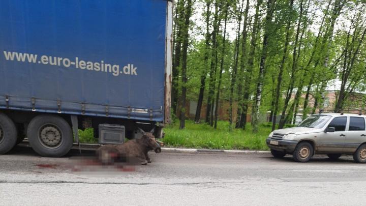В Ярославле насмерть сбили лося. Видео