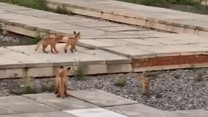 В Екатеринбурге на электрической подстанции поселилась лиса с детенышами