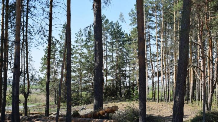 В Шадринске из-за прокладки водовода вырубили две тысячи деревьев