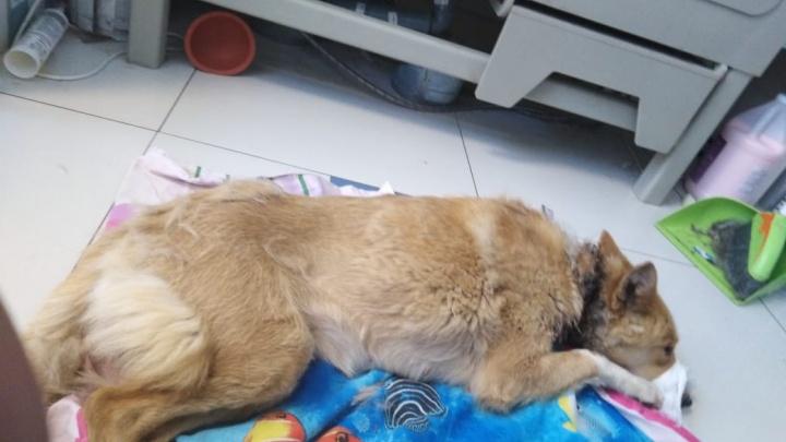 «Это просто казнь». На Урале спасли собаку, которую пытались повесить