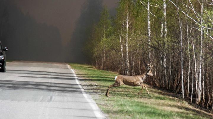 Животные бегут из леса, вместо деревьев — обугленные стволы. Впечатляющие кадры тюменских пожаров