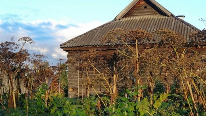 В Новосибирске нашли новые места с опасным растением — из-за него можно попасть в больницу