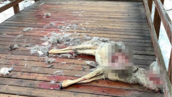 Бездомные собаки разорвали косулю на глазах у туристов у входа на «Столбы»