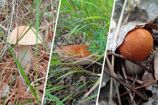 Не всем удалось набрать полные лукошки, но, судя по всему, грибной сезон в тюменских лесах объявляется открытым