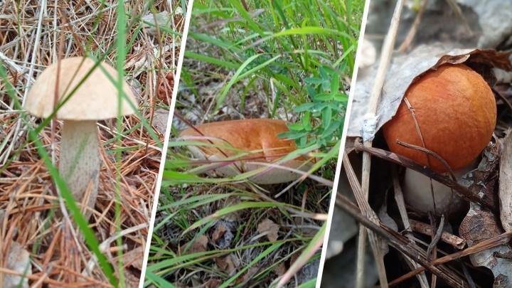 Лисички и рыжики пошли! Тюменцы сходили на тихую охоту и показали ведерки с грибами