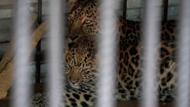 «Характером пошла в маму»: сотрудники Самарского зоопарка показали детеныша леопарда