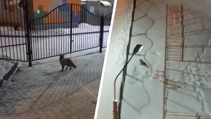 Дворы на МЖК облюбовала серебристая лиса— жители уверены, что зверек домашний