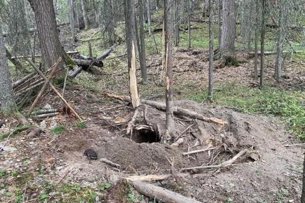 Когда полицейские прибыли на место событий, то нашли пустой капкан, а в нём — отгрызенную лапу. Медведь смог освободиться