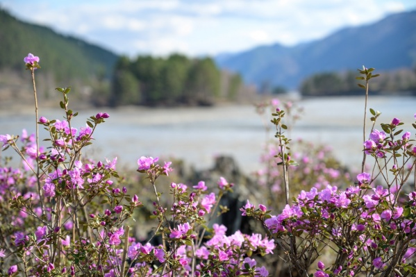 Такой рододендрон цветет в Чемальском районе Республики Алтай