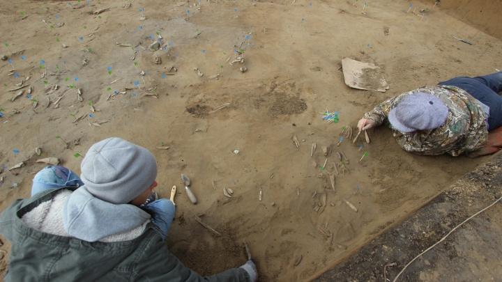 «Это большая редкость»: на Афонтовой горе нашли метровый бивень мамонта