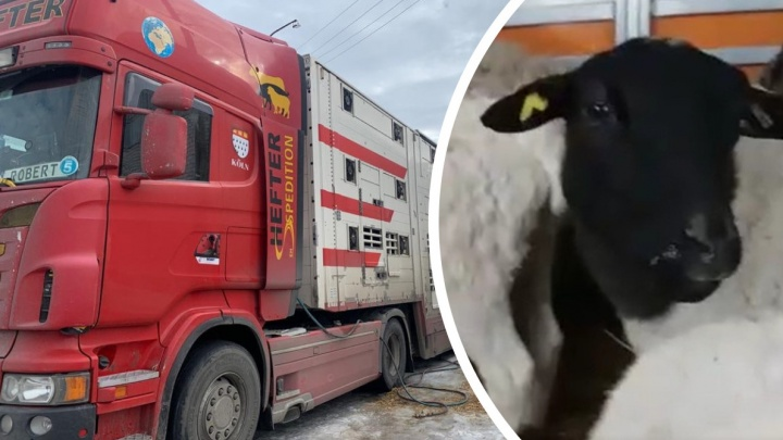 Водитель фуры показал овец из Молдовы, которых не дают провезти через порт в Архангельске