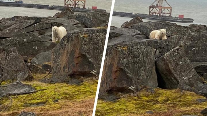 Вышедший к Диксону медведь сам вернулся в дикую природу спустя неделю