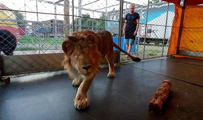 «Дата торгов и стоимость пока не определены»: в Волгограде Росимущество рассказало о дальнейшей судьбе львенка Грома