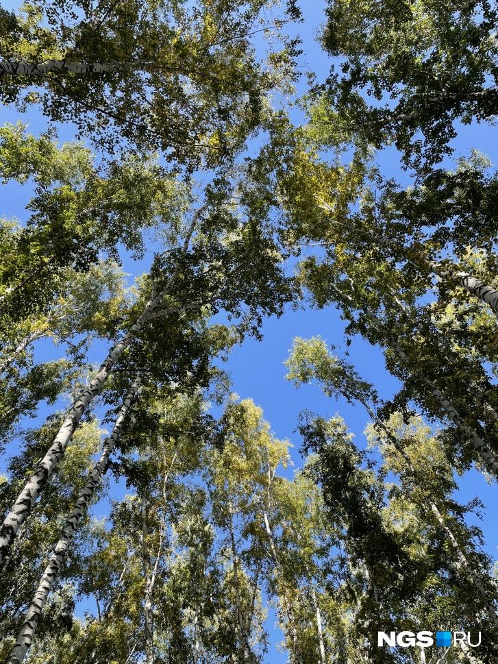 Глядя на небо из березового леса на участке сибиряка, понимаешь, почему он не захотел его вырубать, как это делали некоторые его соседи, купившие участки с деревьями