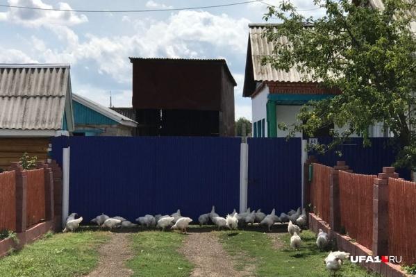 Птичий грипп — острая инфекционная вирусная болезнь птиц