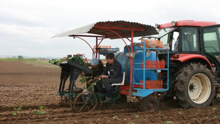 Красноярцев зовут на лето работать в поля. Раскрываем три высокооплачиваемые вакансии