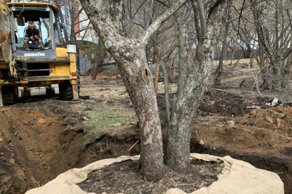 Дерево пришлось выкапывать с прежнего места при помощи экскаватора