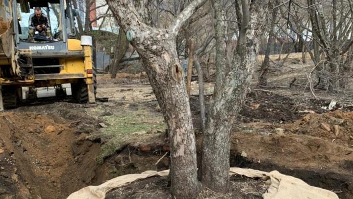 В центре Екатеринбурга впервые пересадили на новое место 70-летнюю яблоню, которая мешала стройке