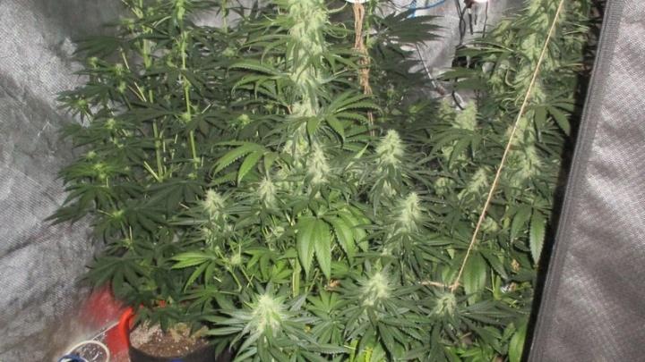 В Екатеринбурге полицейские нашли плантацию марихуаны в квартире многоэтажки