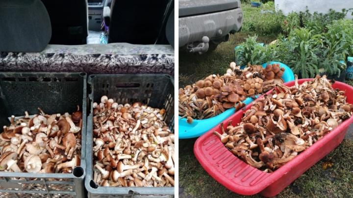 Растут даже после заморозков: новосибирцы отправились в леса за грибами, которые любят холода