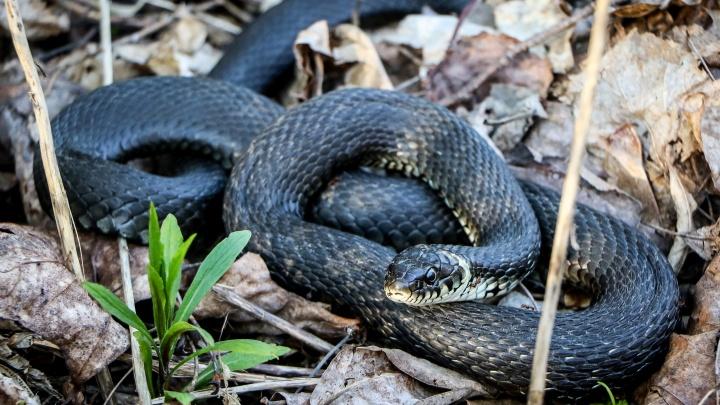 Четыре нижегородца в этом году уже пострадали от укуса змей