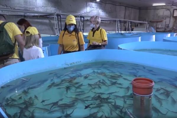 Из бассейна рыбоводческого хозяйства рыба попадает напрямую в Волгу