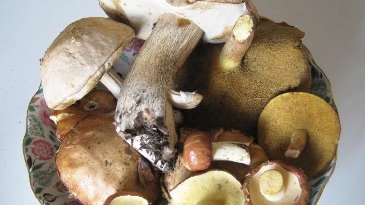В Новосибирской области появились маслята — смотрим снимки с первых урожаев