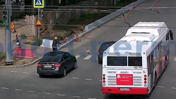 Мопс перебегал дорогу на Компросе, и произошла авария: виновата ли собака в ДТП? Видео