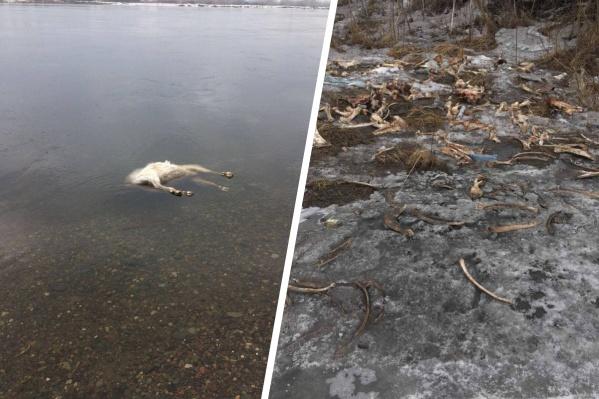 Трупы животных оказались в воде и на берегу