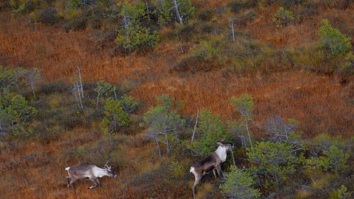 Коренастые олени, миловидные лосята и пугливые медведи — показываем кадры фотоловушек из тюменских лесов