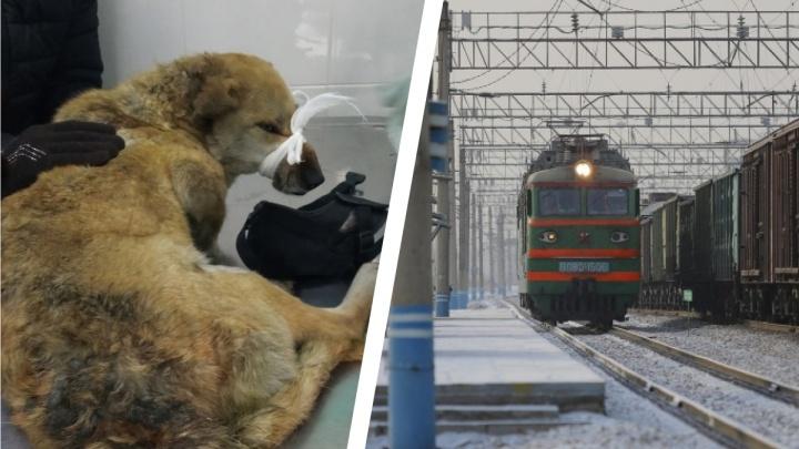 Сбитая поездом собака 4 дня пролежала скуля, вмерзнув в снег
