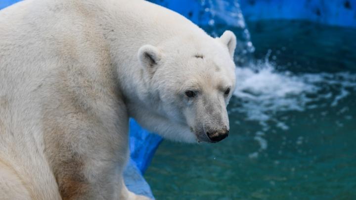 После смерти белого мишки прокуратура проверит екатеринбургский зоопарк