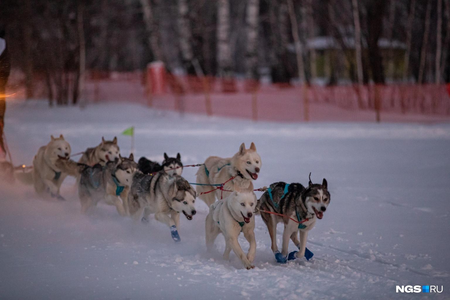 Перед гонкой все участники проходят технический и ветеринарный контроль