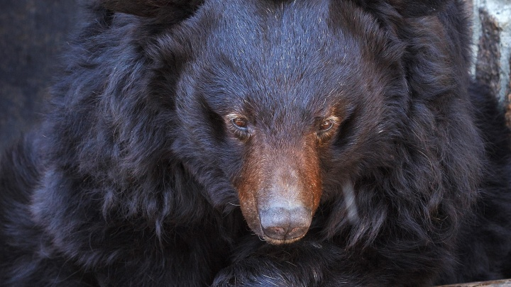 Отравленный в челябинском зоопарке гималайский медведь полностью выздоровел и готовится к спячке