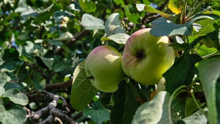 Как правильно выбрать, собрать и хранить садовые яблоки: советы агрономов