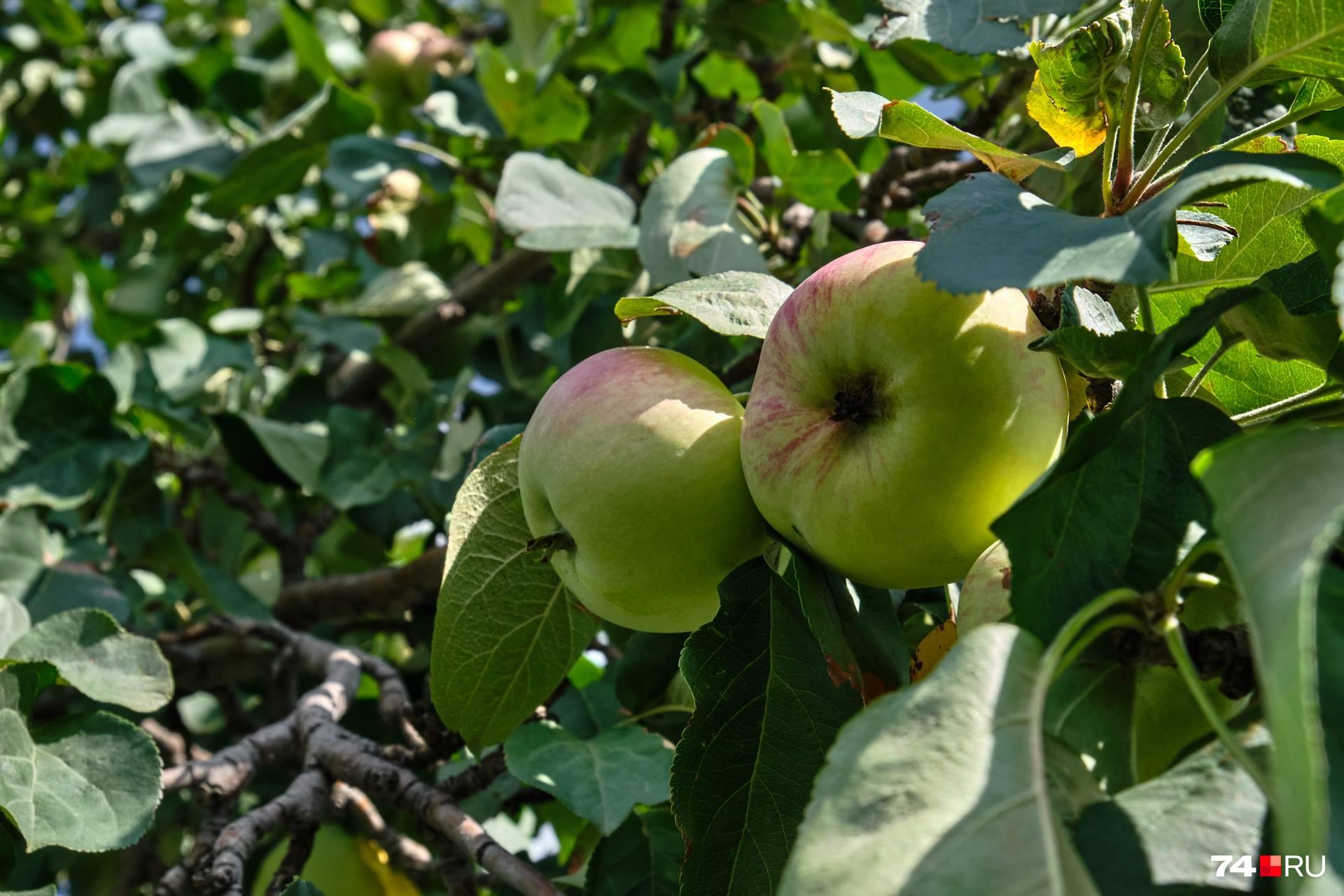 Одно из главных правил: не срывайте яблоки до того, пока их кожица не приобретет характерный для сорта цвет