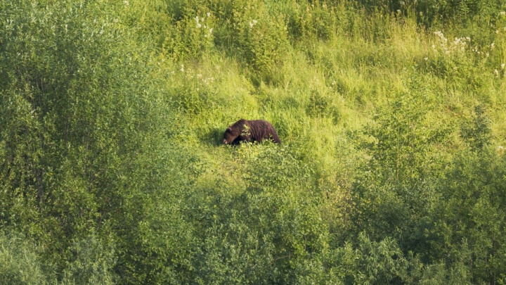 В Минприроды рассказали, что будут делать с медведем, который выходит к туристам у Ветлана