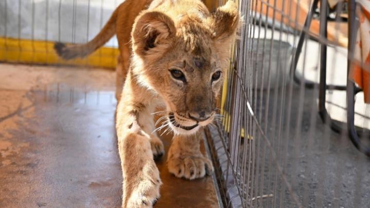 Спасенного от контрабандистов слепого львенка Грома решили продать с аукциона по цене щенка
